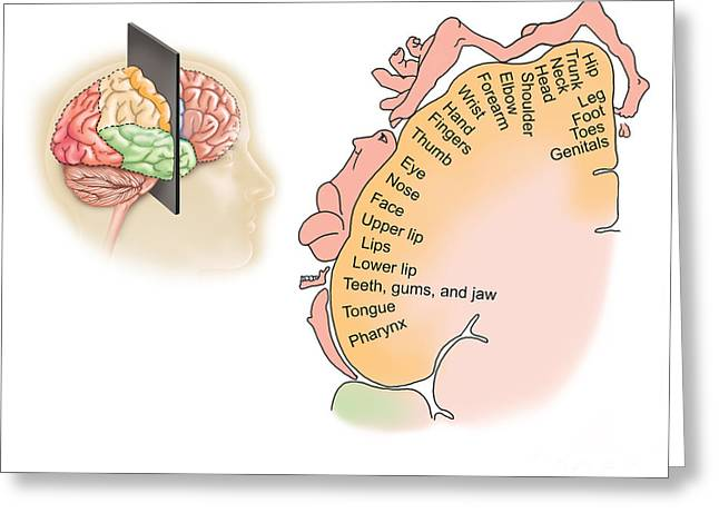 Sensory Perception Greeting Cards - Human Brain Showing The Layout Greeting Card by TriFocal Communications
