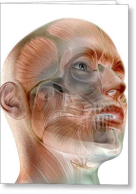 Body Language Greeting Cards - Human facial muscles, artwork Greeting Card by Science Photo Library