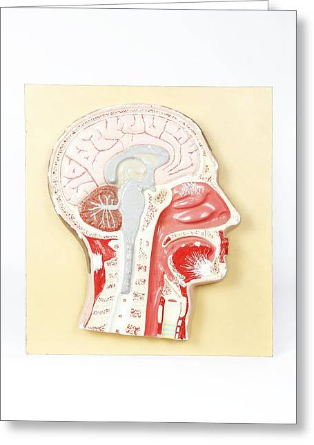 Interior Still Life Greeting Cards - Human head, historical anatomical model Greeting Card by Science Photo Library