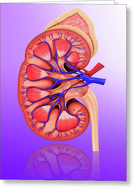 Human Kidney Greeting Card by Pixologicstudio