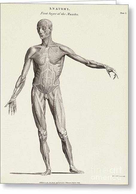 Biology Greeting Cards - Human Muscle Anatomy, 19th Century Greeting Card by Middle Temple Library