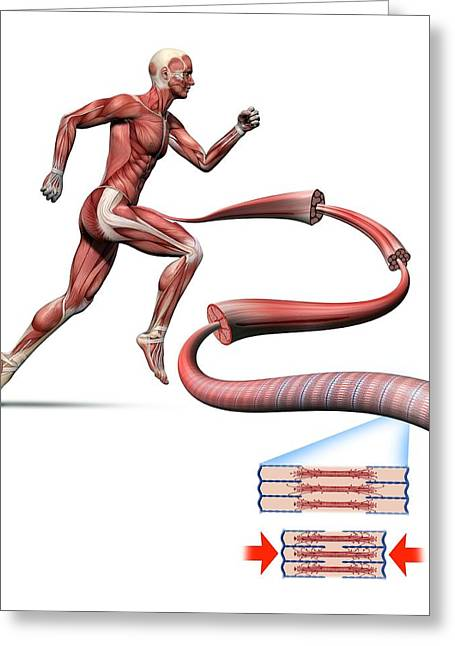 Muscle Contraction Greeting Cards - Human muscle fibres, diagram Greeting Card by Science Photo Library