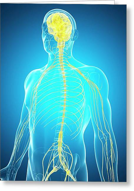 Human Nervous System And Brain Greeting Card by Sebastian Kaulitzki