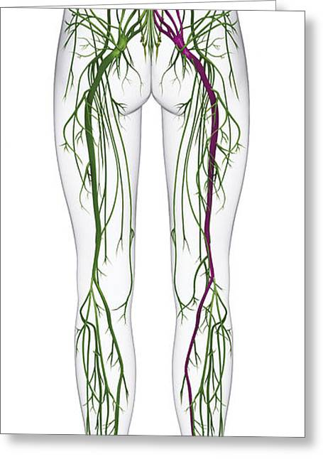 Tibial Nerve Greeting Cards - Human Nervous System, Lower Body Greeting Card by Raj Dashi / Dorling Kindersley