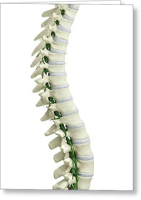 Human Spine Greeting Card by Dorling Kindersley/uig