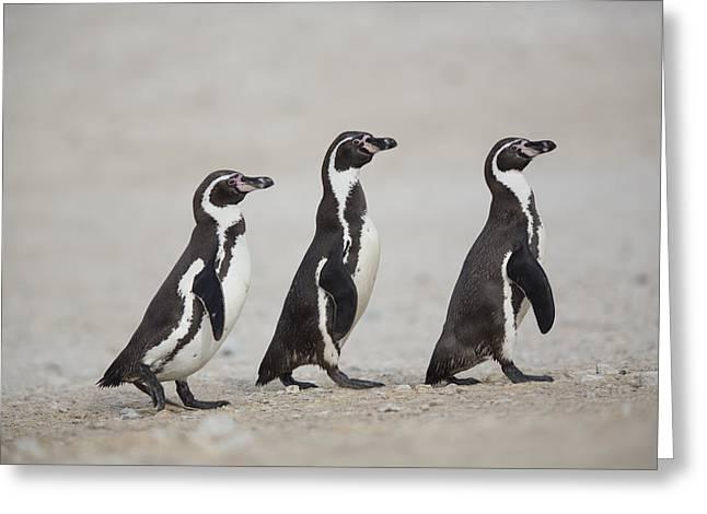 Cyril Greeting Cards - Humboldt Penguin Trio Punta San Juan Greeting Card by Cyril Ruoso