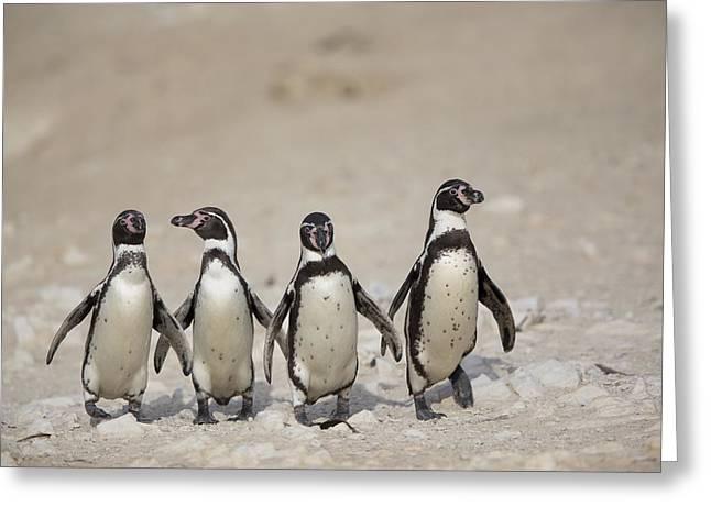 Cyril Greeting Cards - Humboldt Penguins Punta San Juan Greeting Card by Cyril Ruoso