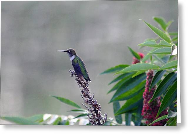 Aggressive Postures Greeting Cards - Hummer At Rest Greeting Card by Debbie Oppermann