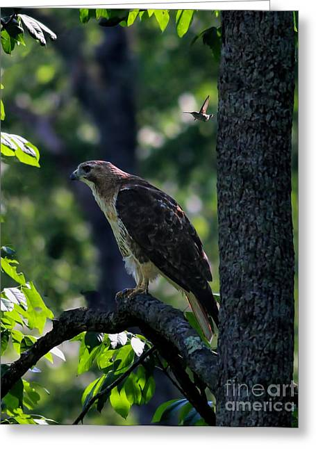 Red Tail Hawk Photo Greeting Cards - Hummer Bomb By Ami Shecter Greeting Card by Paulinskill River Photography