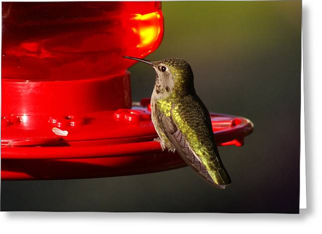 Feeder Framed Prints Greeting Cards - Humming Bird Feeder Greeting Card by Ron Roberts