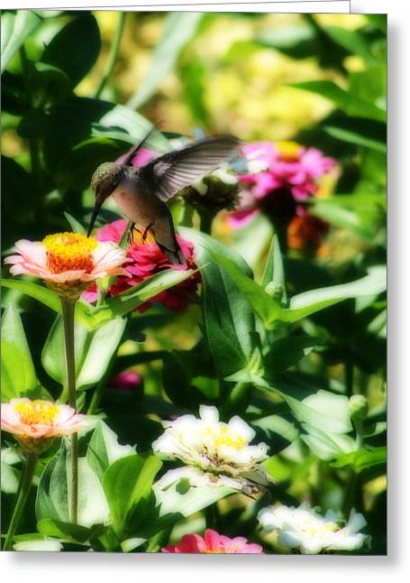 Hungry Fly Greeting Cards - Humming Bird In The Zinnia Patch Greeting Card by Kay Novy
