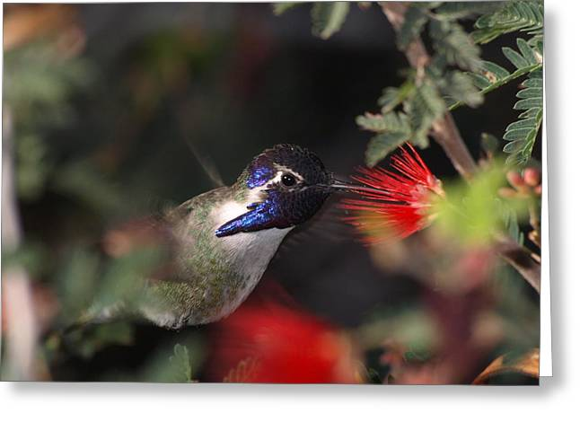Hovering Greeting Cards - Humming Bird Greeting Card by James Peterson