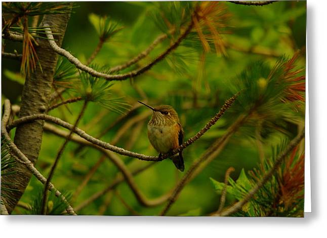 Little Critters Greeting Cards - Humming Birds Perched  Greeting Card by Jeff  Swan