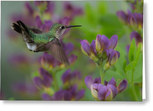 Hovering Greeting Cards - Humming in the Garden Greeting Card by Angie Vogel