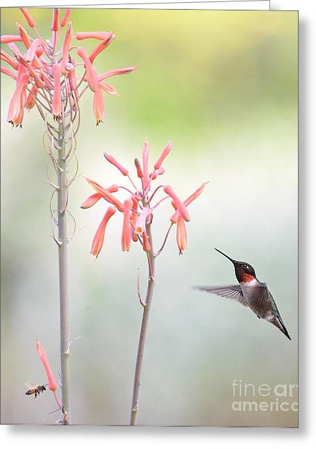 Hummingbirds Greeting Cards - Hummingbird and Bee in Company Greeting Card by Wayne Nielsen