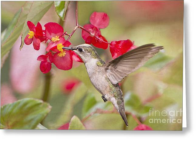 Migrating Hummingbird Greeting Cards - Hummingbird and Begonias Greeting Card by Bonnie Barry