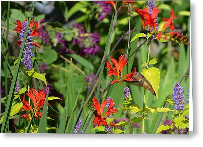 Crocosmia Greeting Cards - Hummingbird and Crocosmia Lucifer Greeting Card by Michelle Calkins