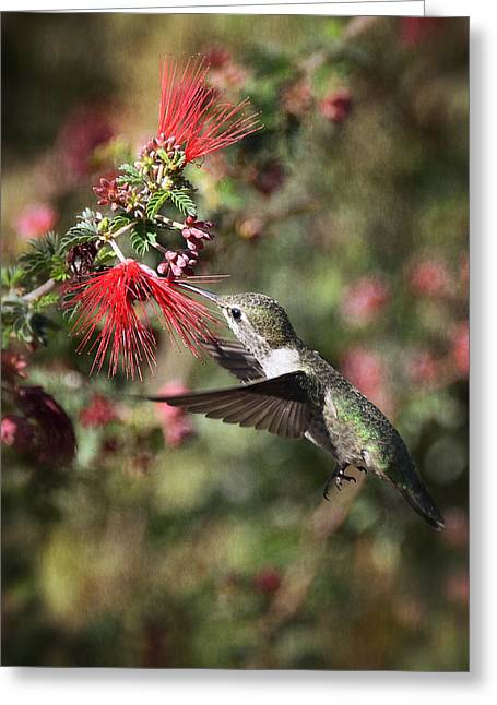 Bird Bottle Greeting Cards - Hummingbird and the Red Feather Duster  Greeting Card by Saija  Lehtonen