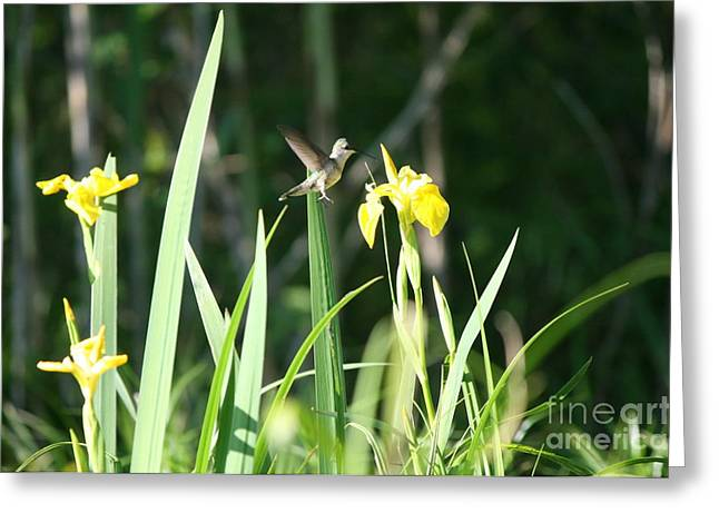 Prints Greeting Cards - Hummingbird and Yellow Flower at Roseland Lake Greeting Card by Neal  Eslinger