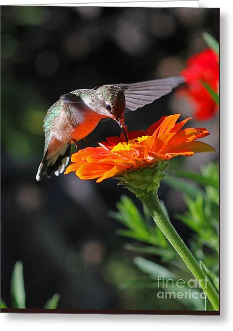 Hummingbird And Zinnia Greeting Card by Steve Augustin