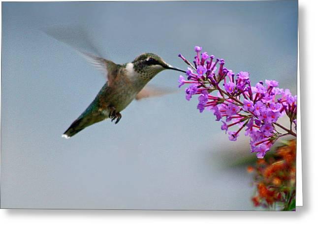 Hummingbird At Butterfly Bush Greeting Card by Karen Adams