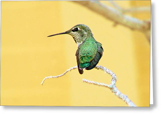 Pamela Patch Greeting Cards - Hummingbird at Rest Greeting Card by Pamela Patch