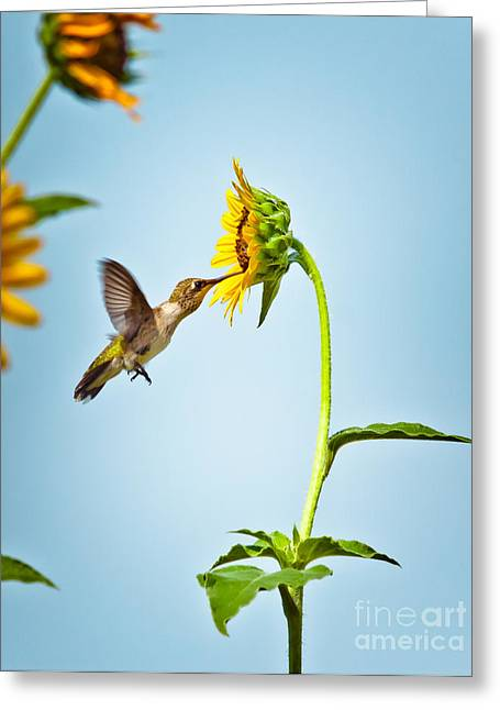 Migrating Hummingbird Greeting Cards - Hummingbird At Sunflower Greeting Card by Robert Frederick