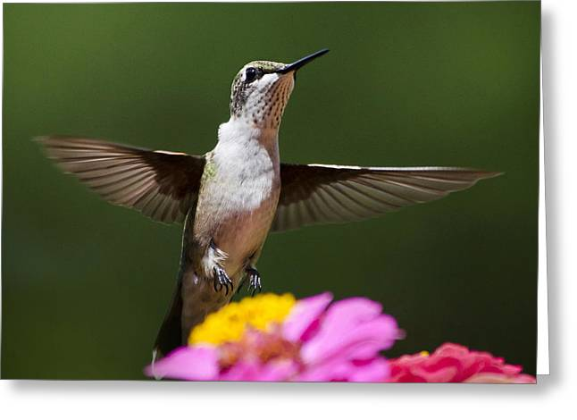 Hovering Greeting Cards - Hummingbird Greeting Card by Christina Rollo