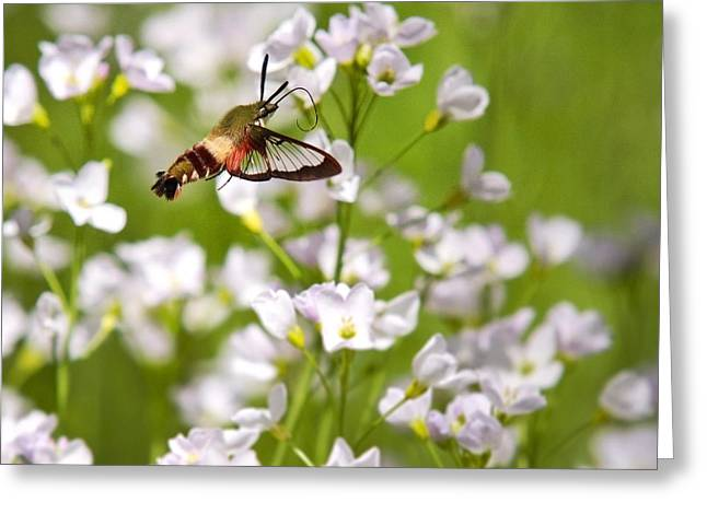 Hovering Greeting Cards - Hummingbird Clearwing Moth And White Flowers Greeting Card by Christina Rollo