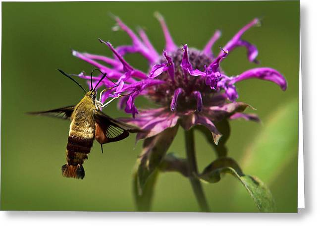 Bee In Flight Greeting Cards - Hummingbird Clearwing Moth Greeting Card by Christina Rollo