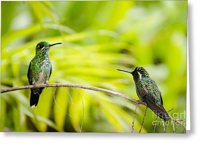 Costa Rica Greeting Cards - Hummingbird Encounter Greeting Card by Oscar Gutierrez
