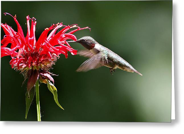 Migrating Hummingbird Greeting Cards - Hummingbird Feeding on a Flower Greeting Card by Chris Alcock