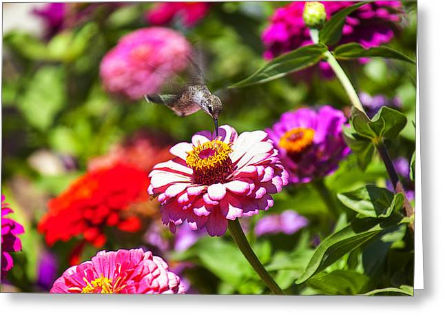 Flower Garden Greeting Cards - Hummingbird Flight Greeting Card by Garry Gay