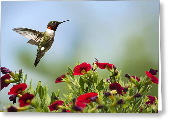 Flying Animal Greeting Cards - Hummingbird Frolic with Flowers Greeting Card by Christina Rollo