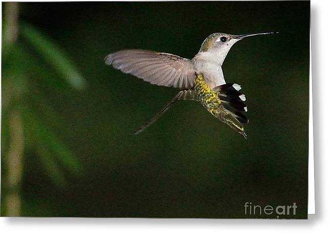 Hummingbirds Greeting Cards - Hummingbird Frozen in Flight with Wings Back Greeting Card by Wayne Nielsen
