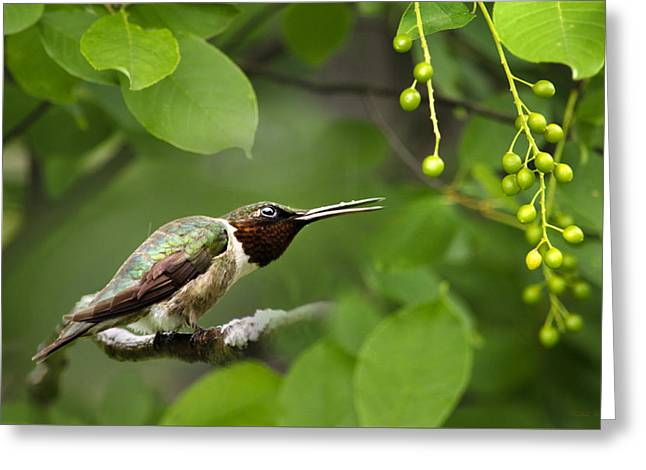 Flying Animal Greeting Cards - Hummingbird Hiding In Tree Greeting Card by Christina Rollo