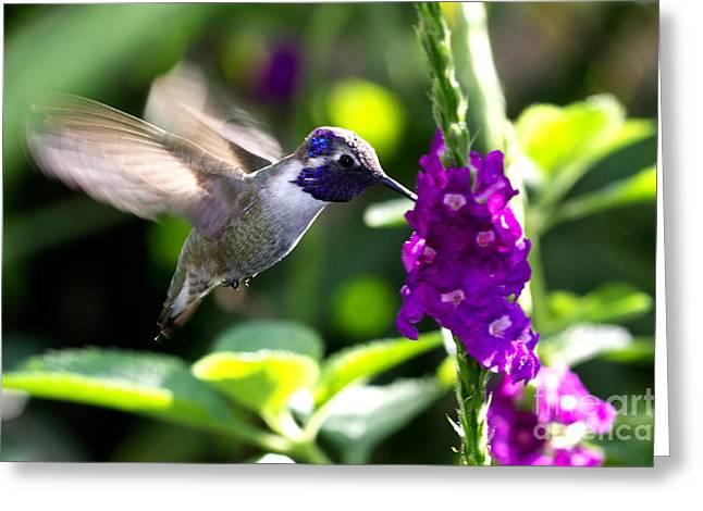 Pamela Gail Torres Greeting Cards - Hummingbird I Greeting Card by Pamela Gail Torres