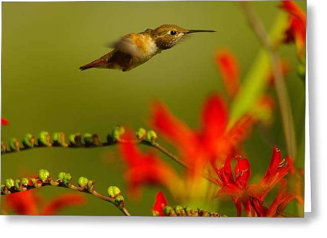 The Houses Greeting Cards - Hummingbird In A Rush Greeting Card by Jeff  Swan