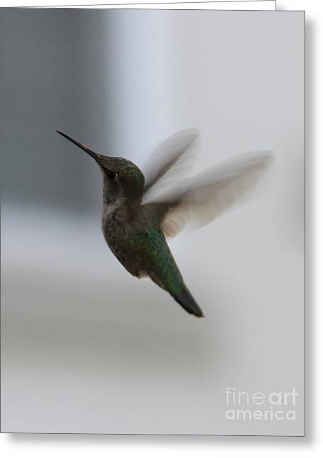 Hummingbird Greeting Cards - Hummingbird in Flight Greeting Card by Carol Groenen