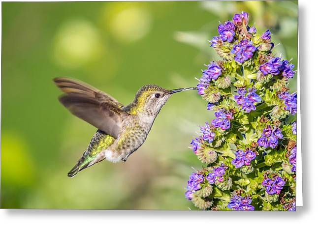 Feeding Birds Greeting Cards - Hummingbird in flight Greeting Card by Pierre Leclerc Photography
