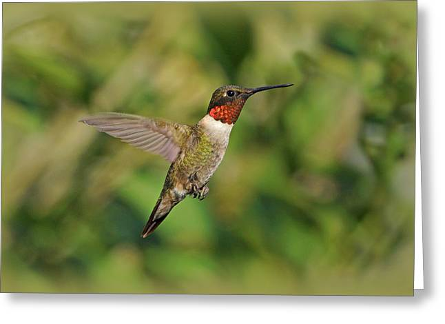 Sandy Keeton Photography Greeting Cards - Hummingbird in Flight Greeting Card by Sandy Keeton