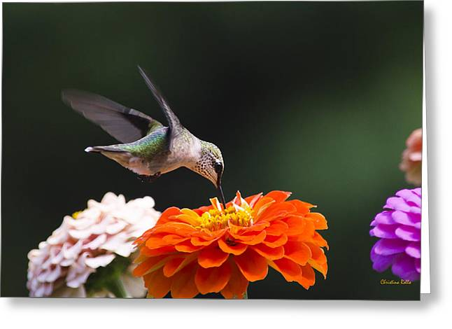 Ruby Throated Hummingbird Greeting Cards - Hummingbird in Flight with Orange Zinnia Flower Greeting Card by Christina Rollo