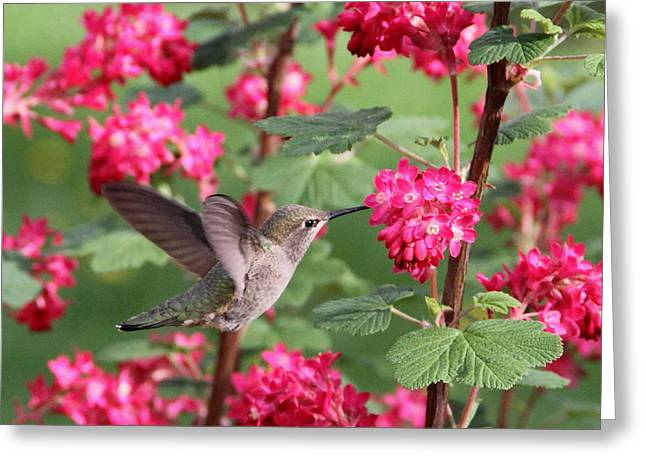 Hovering Greeting Cards - Hummingbird in the Flowering Currant Greeting Card by Angie Vogel