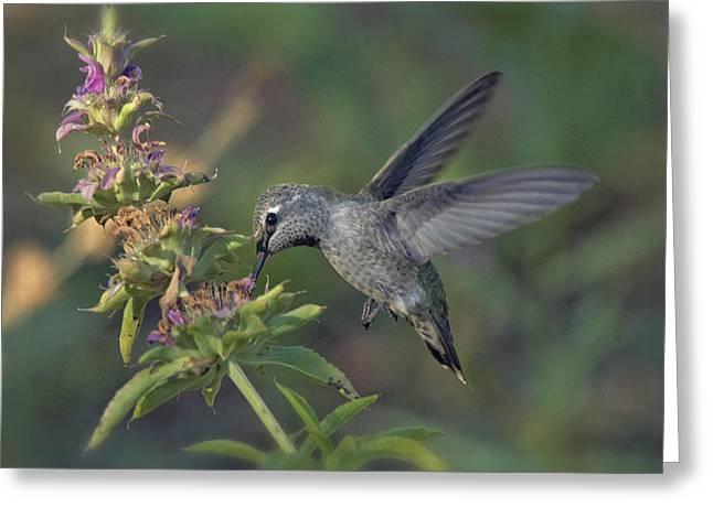 Hummingbird In The Morning Light Greeting Card by Saija  Lehtonen