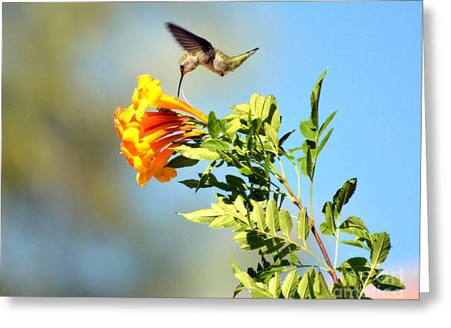 Coppery Greeting Cards - Hummingbird Greeting Card by Jim Chamberlain