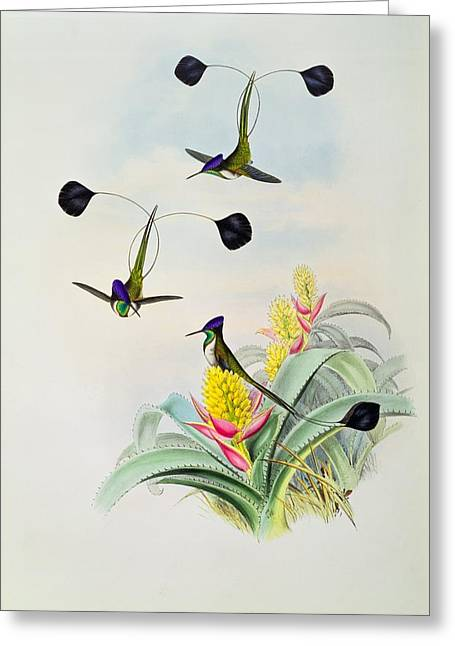 Exotic Drawings Greeting Cards - Hummingbird Greeting Card by John Gould