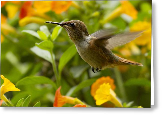 Hummingbirds Greeting Cards - Hummingbird looking for food Greeting Card by Heiko Koehrer-Wagner