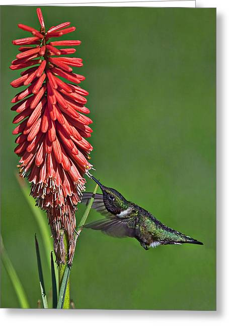 Hovering Greeting Cards - Hummingbird Greeting Card by Marcia Colelli
