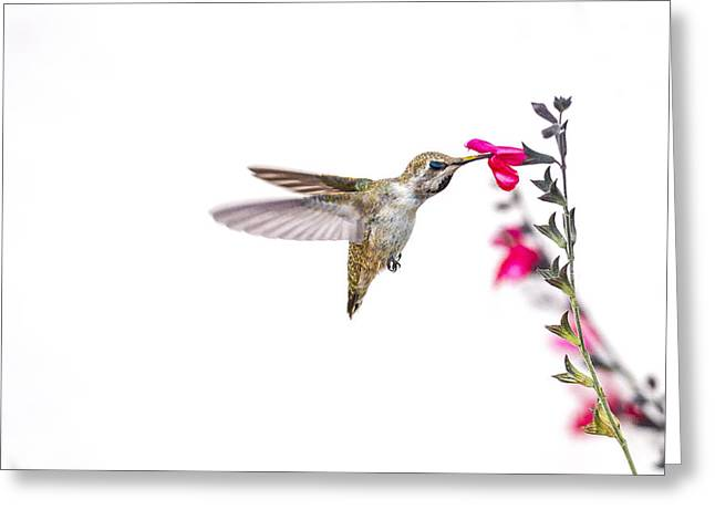Fearlessness Greeting Cards - Hummingbird Greeting Card by Micah Morton