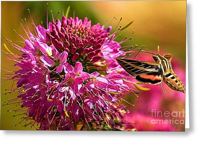 Hummingbird Moth At Grand Canyon Greeting Card by Adam Jewell